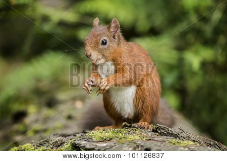 Red squirrel Sciurus vulgaris sitting on a tree trunk with a nut in its mouth