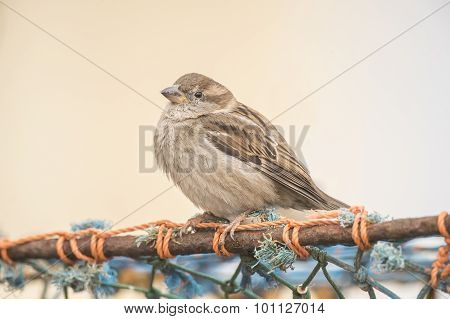 Sparrow Passer domesticus perched on a creel