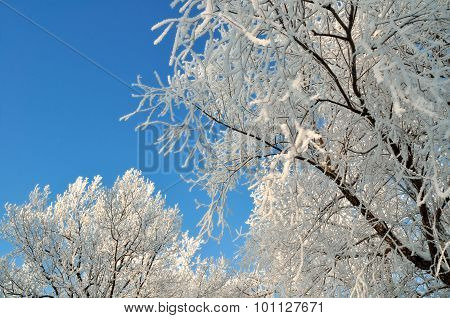 Winter Sky Scape With Frosted Trees