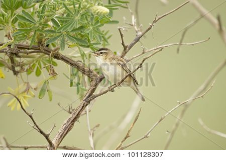 Sedge warbler perched in a tree in Springtime