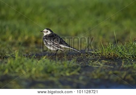Pied wagtail Motacilla alba standing on the icy ground looking for food