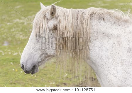 A white horse in a field headshot