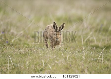 Brown Hare running forwards in the grass