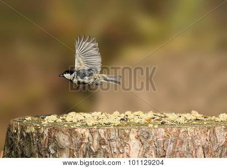 Coal tit Periparus ater flying from a tree stump