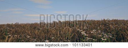 ripen wheat field landscape