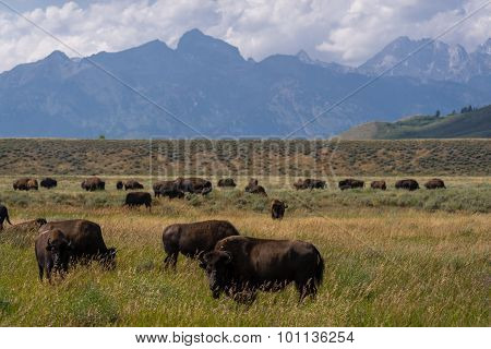 Buffalo in the Grand Teton National Park 2
