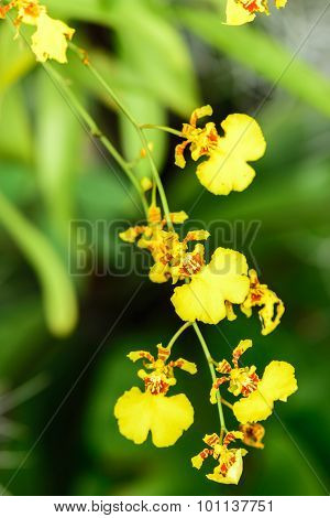 Beautiful Oncidium orchid yellow Flowers in garden.