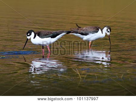 Black Necked Stilts in the Water
