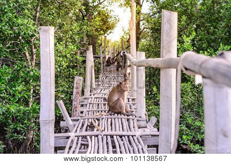Crab-eating Macaque Monkey Siiting On Bamboo Bridge In Mangrove Forest.