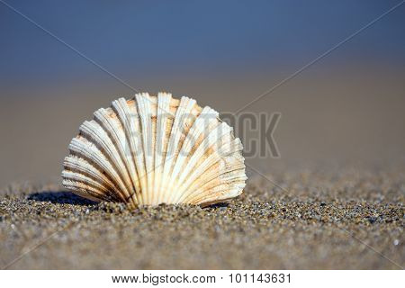 Beautiful sea shell on sandy beach