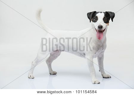 Portrait of a purebred Jack Russell terrier