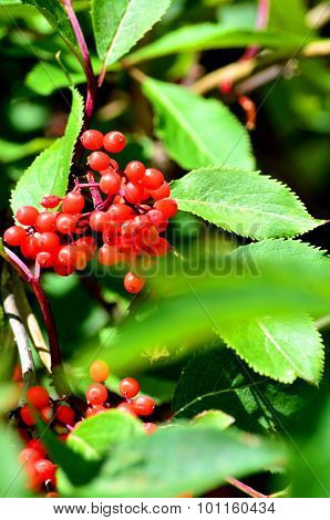Rowan Berries, Sorbus Aucuparia
