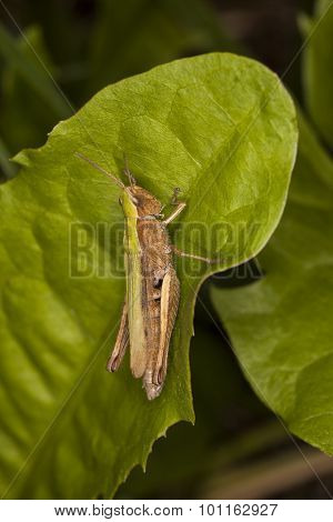 Grasshopper Sitting On The Grass