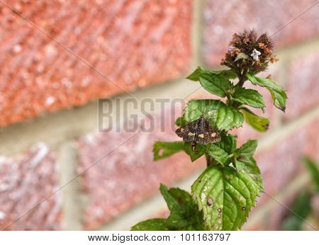 Mint Moth On A Mint Sprig