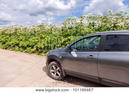 Cow Parsnip Or The Toxic Hogweed In Summer Sunny Day Near The Countryside Road