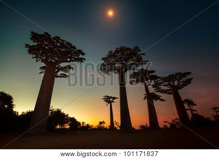 Baobab trees, moon, and bright sunset sky. Madagascar