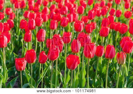 A Field Of Beautiful Red Tulips Closeup