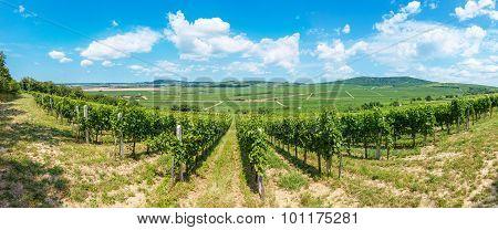 Blauer Portugeiser Grapes In A Hungarian Vineyard