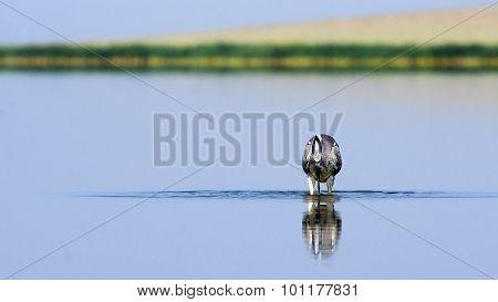 Grey Heron Hunting Early Morning At Shallow Water