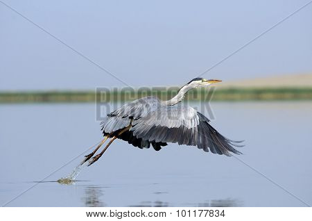 Grey Heron Takeoff With Down Wings