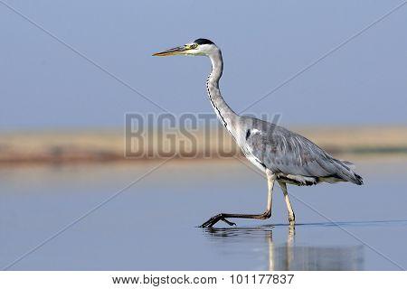Closeup Of Grey Heron Walking At Shallow Water