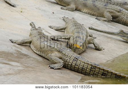 Crocodile Are Semiaquatic And Tend To Congregate In Freshwater Habitats Such As River, Lakes, Wetlan