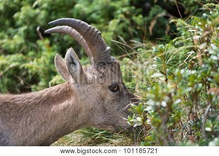 Ibex Eating Grass