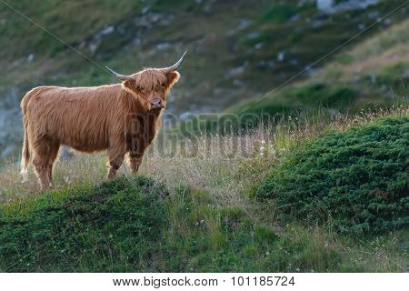 Highlander - Scottish Cow