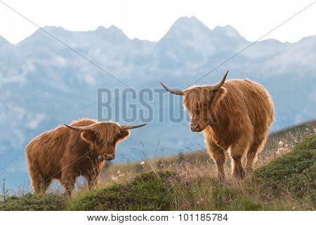 Two Highlander - Scottish Cow On The Swiss Alps