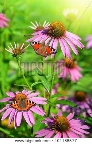 Blooming medicinal herb echinacea purpurea