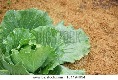 Soft Focus On Cabbage And Drop On It
