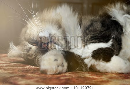 Nice Tabby Fluffy Cat Sleeping On The Carpet Indoors
