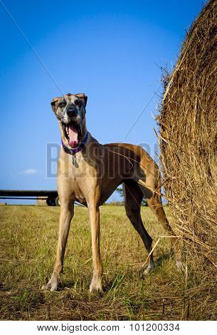 Silly great Dane standing next to hay bale