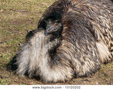 Emu Ostrich