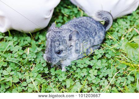 The Small Gray Chinchilla Sitting In The Grass