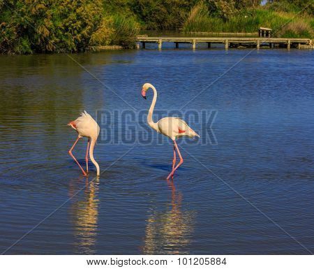 Sunset in the national park of Camargue, Provence. Pair of pink flamingos in delta of the Rhone