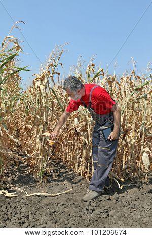 Farmer Examine Corn Field