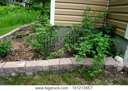 Garden of Black Raspberry Bushes