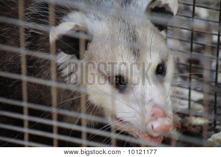close up of opossum