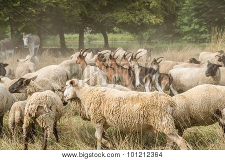 Livestock in a farm, with goats, sheep and donkeys