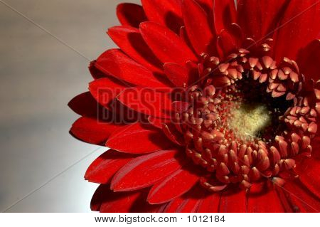 Gerbera Close Up