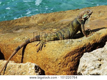 Iguana Sunning on an Oceanside Rock
