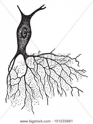 A nerve with bush like projection, vintage engraved illustration.