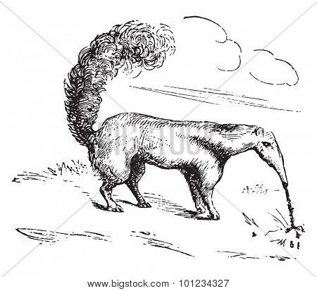 Anteater, vintage engraved illustration.