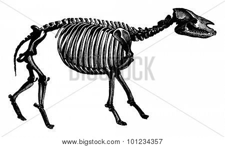 Palaeotherium skeleton, The transformation of species, vintage engraved illustration. Earth before man 1886.