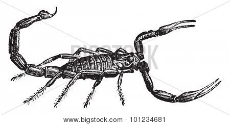 Scorpion, vintage engraved illustration. Natural History of Animals, 1880.