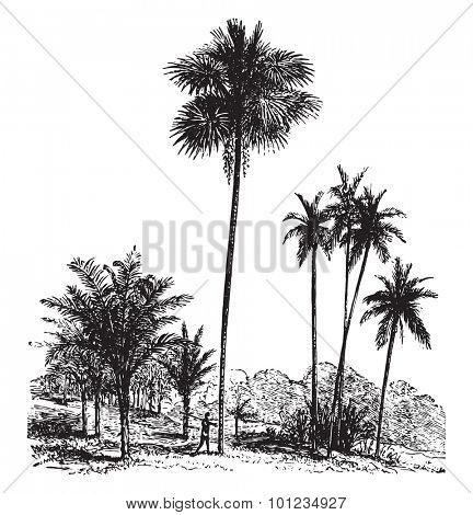 Sago, Ordinary palm tree, Areca catechu, vintage engraved illustration. La Vie dans la nature, 1890.