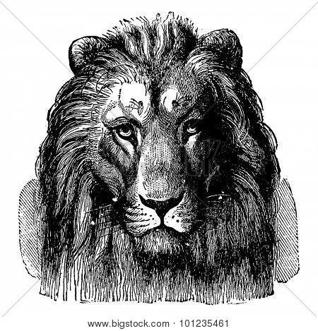 Lion head of Sennar, front view, vintage engraved illustration. Earth before man- 1886.