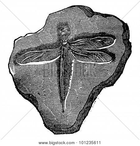 Dragonfly fossil of the Jurassic period, vintage engraved illustration. Earth before man  1886.