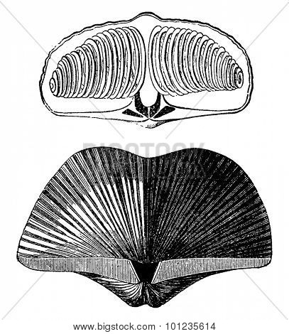 Molluscs brachiopods of the Devonian period. Spirifer striatus, vintage engraved illustration. Earth before man  1886.